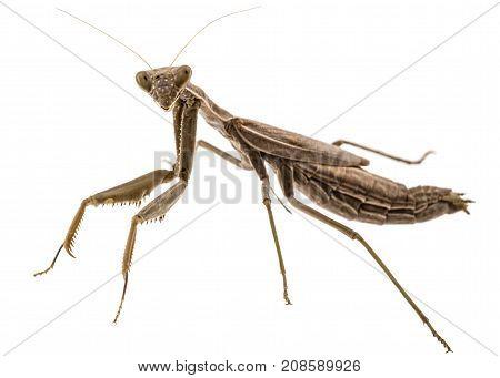 Mantis Ordinary Or Mantis Religious, Isolated On White Background