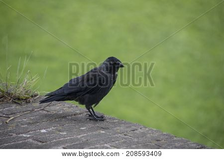 Beautiful black crow (lat. Corvus cornix) is a bird of the Raven