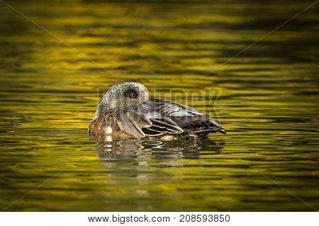 A male wigeon is nestled on the water at Cannon Hill Park in Spokane Washington.