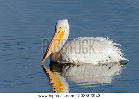 Profile of an American White Pelican swimming on a blue water lake.