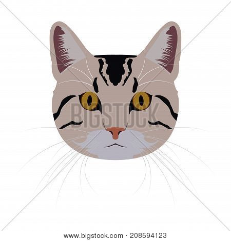 Isolated American shorthair cat avatar on a white background, Cat breed, Vector illustration
