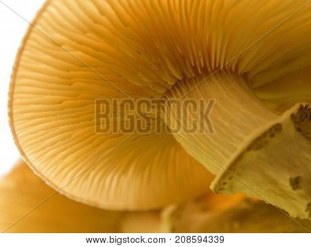 A hat of a splendid honey fungus underside view. Gills or lamellae and a stipe with a partial veil are seen. A close-up shot.