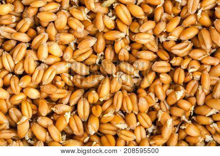 Germinated wheat grass seeds, close up