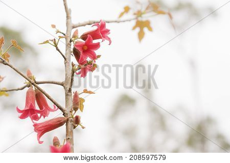 Australian red bell flowers of Brachychiton bidwillii in Spring on condolences background with copyspace for sympathy or greeting card for remembrance celebration death funeral or tragedy