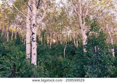 aspen tree grove in Utah mountains in Spring on a clear day