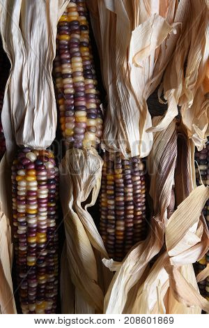 High angle vertical closeup shot of a group of flint corn cobs with husks. Also known as Indian Corn, Calico Corn and Ornamental Corn.