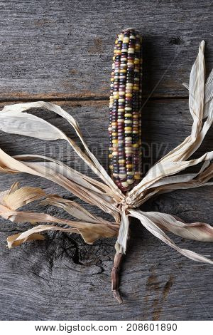 Vertical high angle shot of a single cob of Flint corn on a rustic wood table. Also known as Indian Corn, Calico Corn and Ornamental Corn.