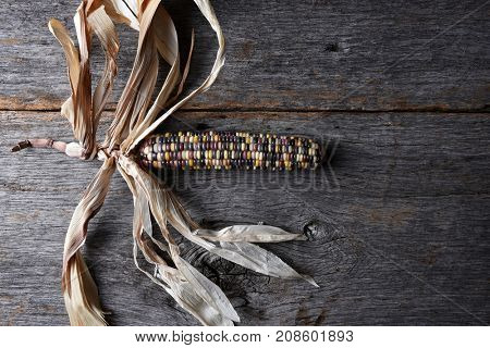 High angle shot of a single cob of Flint corn on a rustic wood table with copy space. Also known as Indian Corn, Calico Corn and Ornamental Corn.