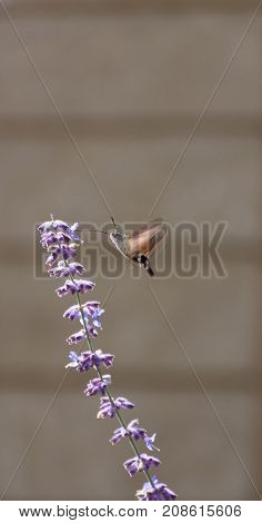 Hummingbird Moth sucking nectar from a lavender blossom with its long proboscis