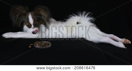 Beautiful young male dog Continental Toy Spaniel Papillon lickens at the sight of dry food on a black background