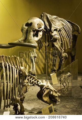 Washington, DC - September 9, 2014 - Vertical close up of a prehistoric skeletons displayed at the Smithsonian National Museum of Natural History in Washington.
