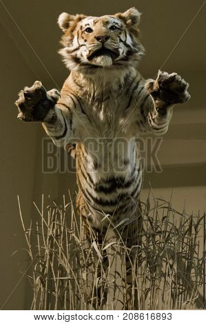 Washington, DC - September 9, 2014 - Vertical close up of a giant tiger leaping from a display at the Smithsonian National Museum of Natural History in Washington.