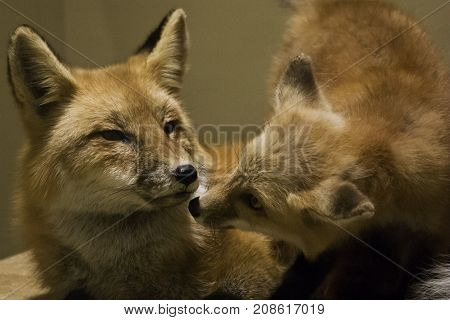 Washington, DC - September 9, 2014 - Wide close up of two posed red foxes displayed at the Smithsonian National Museum of Natural History in Washington.