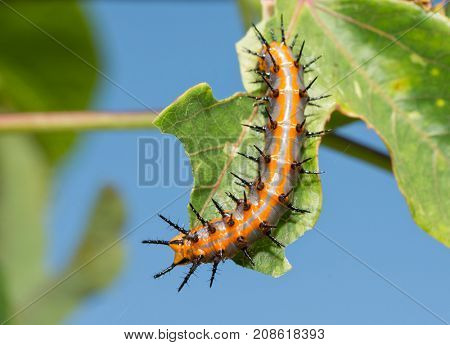 Dorsal view of Gulf Fritillary caterpillar on a Passionflower leaf