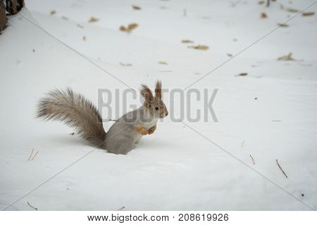The gray squirrel eating sunflower seeds on the tree and house in the park in winter