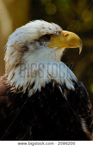 Portrait of young bald eagle with blackish background poster