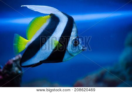 Little striped fish in an aquarium in the blue water with reef in the zoo