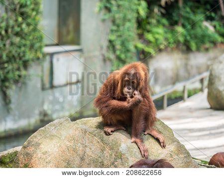 Orangutan Portrait. Portrait of the adult male of the adult orangutan in the zoo