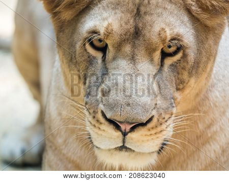 Close-up portrait of wild lioness looking straight
