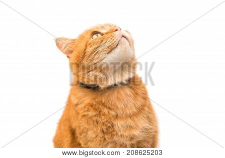 looking red cat isolated on white background