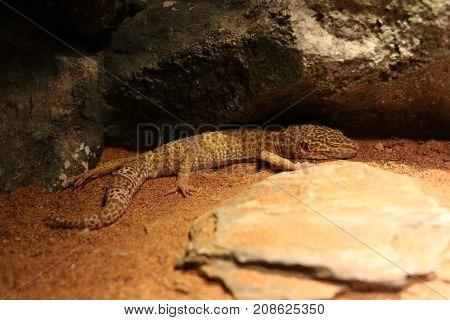 Desert chameleon, pet, animal, orange, stone, hunter