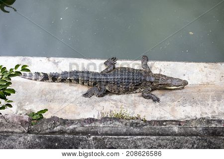 Crocodile on the concrete floor in forest