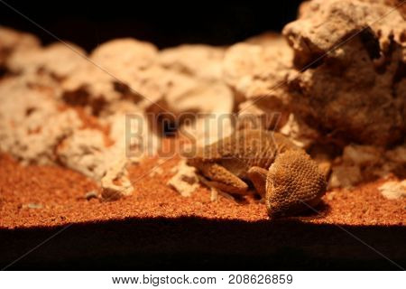 Desert chameleon are sleeping comfortably and look cute