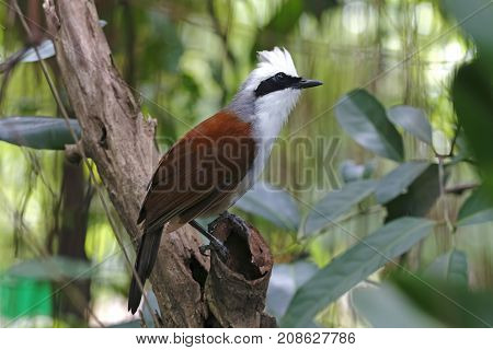 White-crested Laughingthrush Garrulax Leucolophus Beautiful Birds Of Thailand