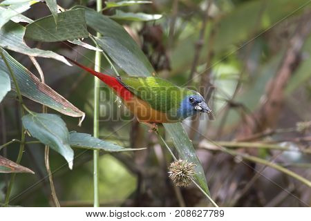 Pin-tailed Parrotfinch Erythrura Prasina Beautiful Birds Of Thailand