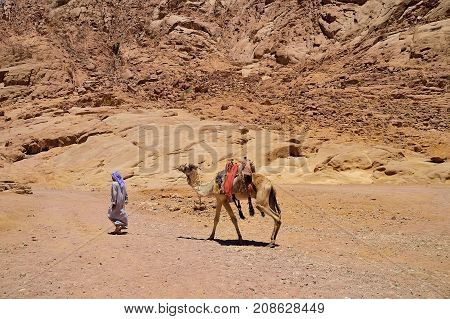 Bedouin leads a camel in a mountainous area