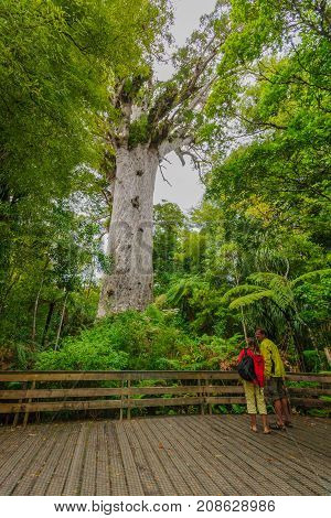 Kauri Tree In The Waipoua Forest