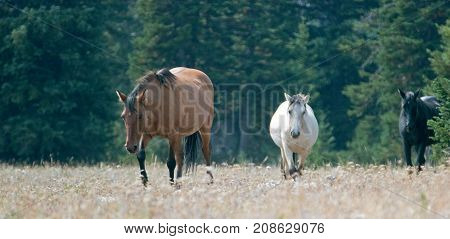 Wild Horses - Coyote Dun and Apricot Dun Pale Buckskin and Black stallions in the Pryor Mountains Wild Horse Range in Montana United States