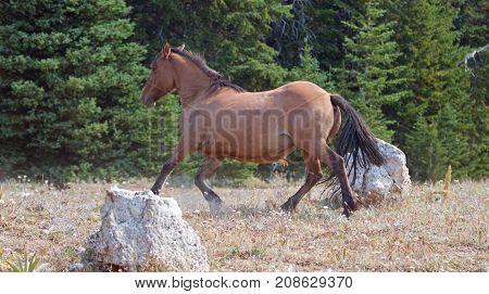 Dun Buckskin mare wild horse running in the Pryor Mountains Wild Horse Range in Montana United States
