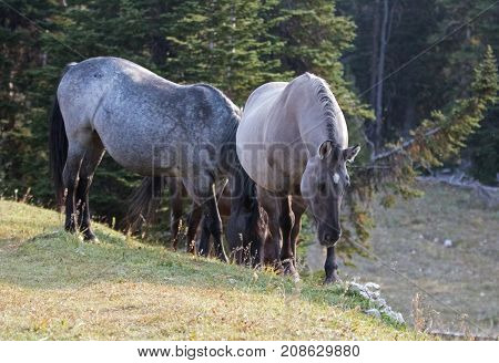 Wild Horses - Blue Roan mare and Silver Gray Grulla mare in the Pryor Mountains Wild Horse Range in Montana United States