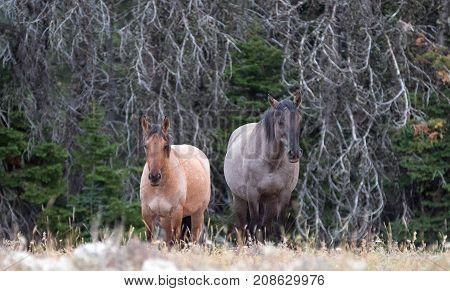 Wild Horses - Red Roan mare and Gray Grulla stallion in the Pryor Mountains Wild Horse Range in Montana United States