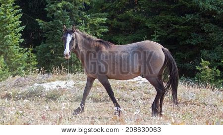 Gray Silver Grulla mare wild horse walking in the Pryor Mountains Wild Horse Range in Montana United States