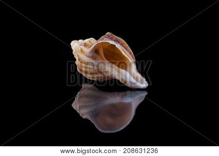 Sea shell conch isolated on black background .