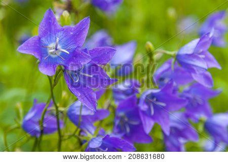 Blue flowers bells. Flower bell. Nature background