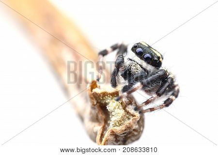 Super macro Carrhotus Sannio or Jumping spider on stem isolated on white background