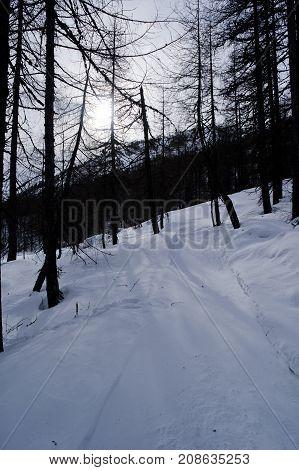 forest during winter near sils in switzerland
