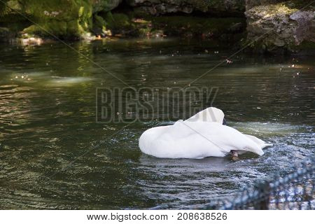 THE SWAN - BIGGER FLYING BIRD - BEAUTY OF NATURE