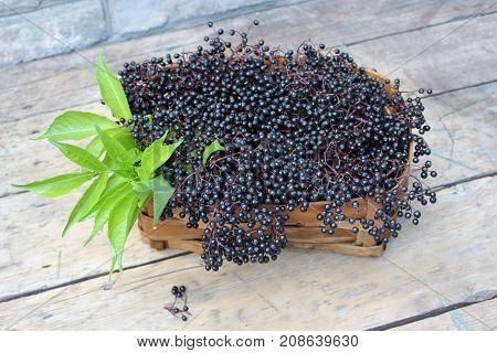Ripe elderberry fruits in a wicker basket