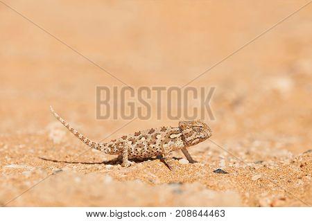 Little Namaqua Chameleon walking on the sand of Dorob desert