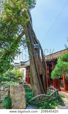 Suzhou, China - Nov 5, 2016: Master of Nets Garden (Wang Shi Yuan) - A very old tree being preserved and nurtured in a quiet area of the garden.