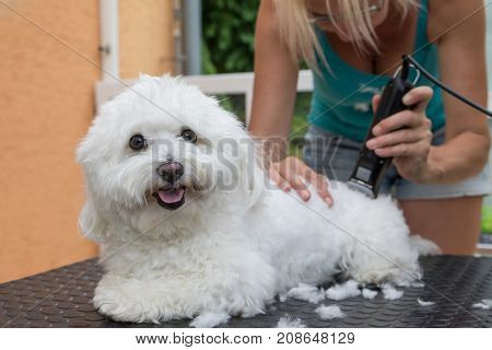 Groomer is grooming a white Bolognese dog by the electric razor. The dog is smiling at the camera. All potential trademarks are removed.