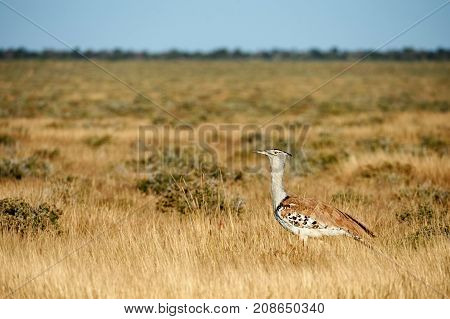 Kori bustard a really large flying bird photographed in the namibian savannah