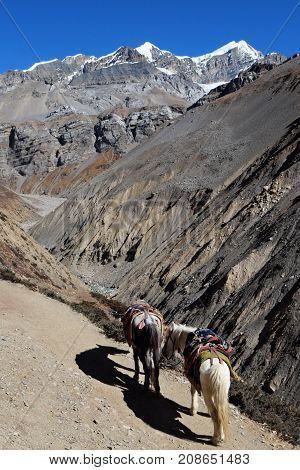 Nepalese mountain horses in the mountains on the trail saddled.