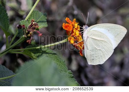 Catopsilia Florella Butterfly On Orange Flowers