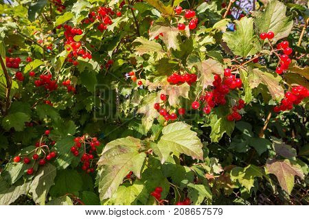 Guelder rose Viburnum opulus berries Midlands UK