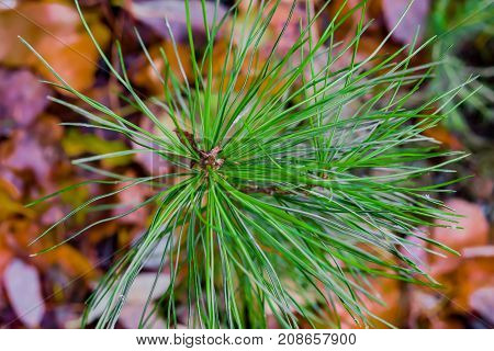 Branch of coniferous wood Siberian pine with green needles closeup on the background blur of autumn leaves of different colors, autumn landscape
